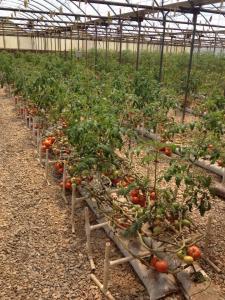 Greenhouse tomatoes.
