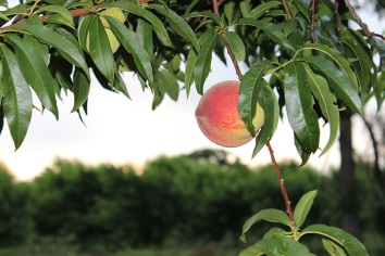 Cooper Farms Peach 2014